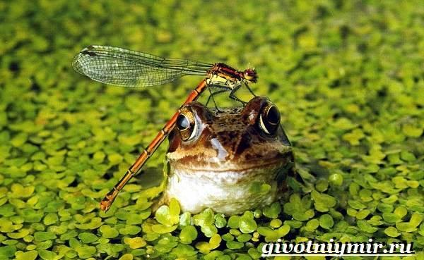 Лягушка-животное-Образ-жизни-и-среда-обитания-лягушки-2