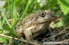 Лягушка животное. Образ жизни и среда обитания лягушки