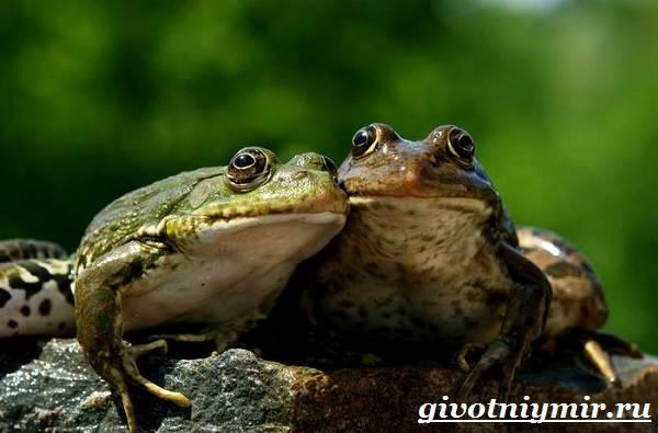 Лягушка-животное-Образ-жизни-и-среда-обитания-лягушки-7