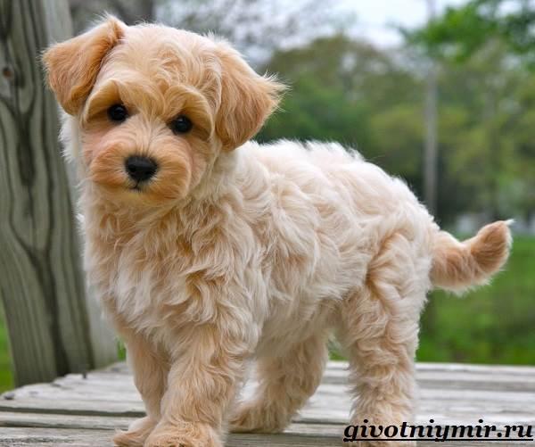 Мальтипу-порода-собак-Описание-особенности-цена-и-уход-за-мальтипу-1