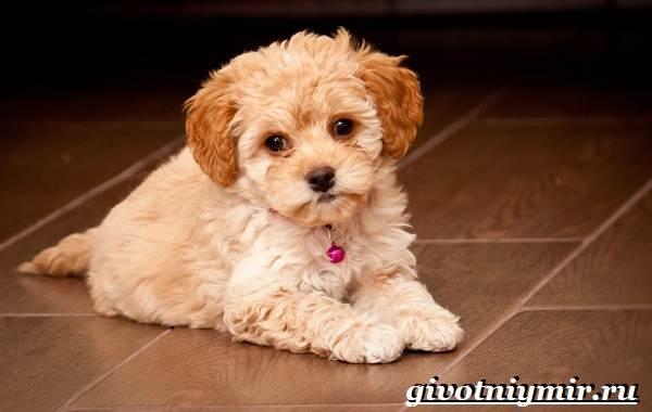 Мальтипу-порода-собак-Описание-особенности-цена-и-уход-за-мальтипу-10