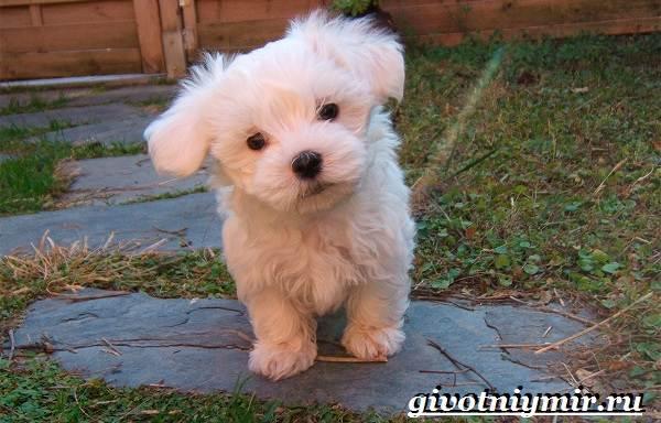 Мальтипу-порода-собак-Описание-особенности-цена-и-уход-за-мальтипу-11