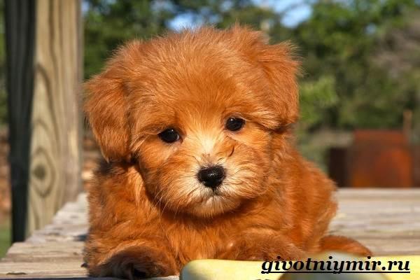 Мальтипу-порода-собак-Описание-особенности-цена-и-уход-за-мальтипу-3