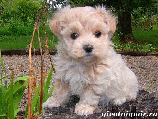Мальтипу-порода-собак-Описание-особенности-цена-и-уход-за-мальтипу-4