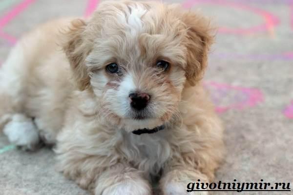 Мальтипу-порода-собак-Описание-особенности-цена-и-уход-за-мальтипу-5