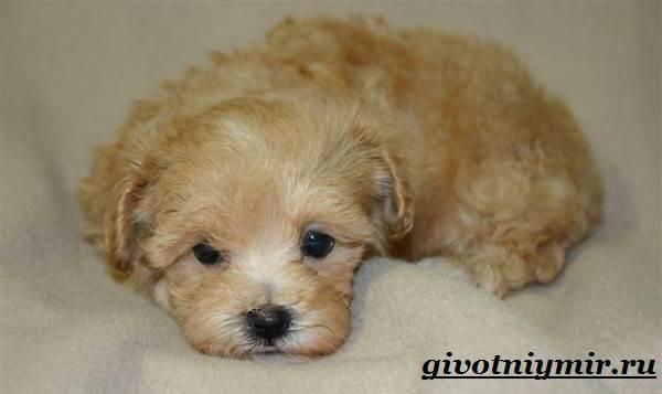 Мальтипу-порода-собак-Описание-особенности-цена-и-уход-за-мальтипу-6