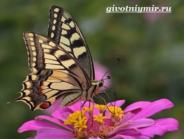 Махаон-бабочка-Образ-жизни-и-среда-обитания-бабочки-махаон-1