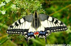 Махаон бабочка. Образ жизни и среда обитания бабочки махаон