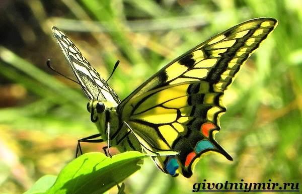 картинки бабочка махаон.