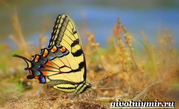 Махаон-бабочка-Образ-жизни-и-среда-обитания-бабочки-махаон-5