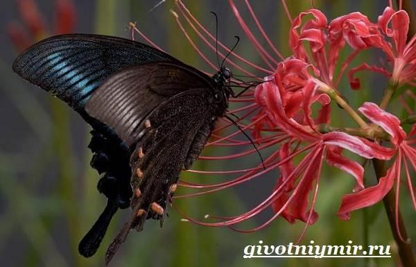 Махаон-бабочка-Образ-жизни-и-среда-обитания-бабочки-махаон-6