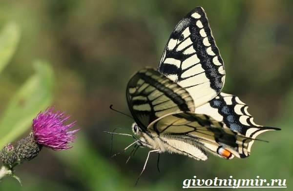 Махаон-бабочка-Образ-жизни-и-среда-обитания-бабочки-махаон-7