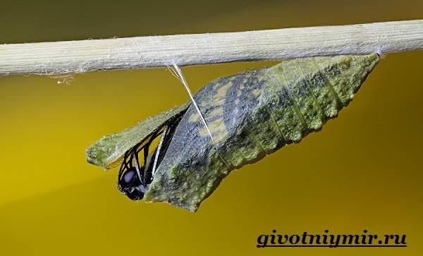 Махаон-бабочка-Образ-жизни-и-среда-обитания-бабочки-махаон-8