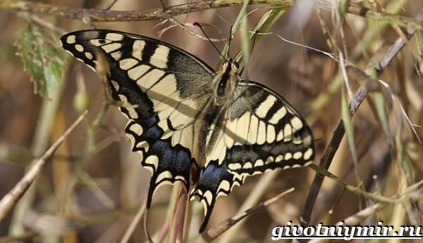 Махаон-бабочка-Образ-жизни-и-среда-обитания-бабочки-махаон-9
