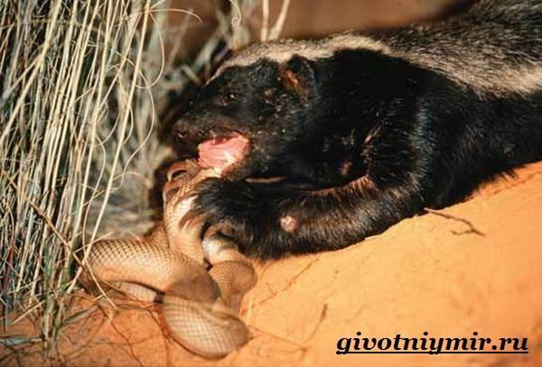 Медоед-животное-Образ-жизни-и-среда-обитания-медоеда-4