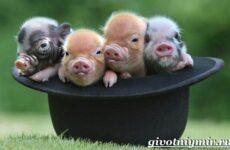 Мини пиги свинья. Особенности, уход и цена мини-пиги
