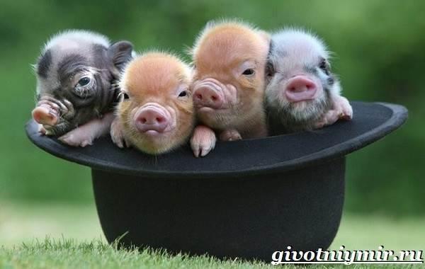 Мини-пиги-свинья-Особенности-уход-и-цена-мини-пиги-1