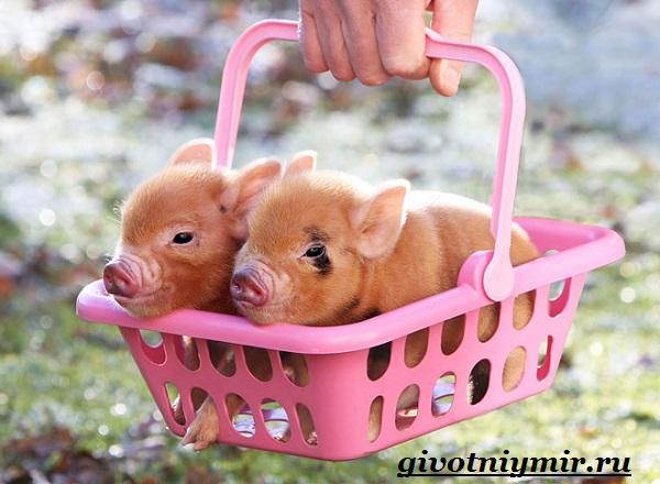 Мини-пиги-свинья-Особенности-уход-и-цена-мини-пиги-10
