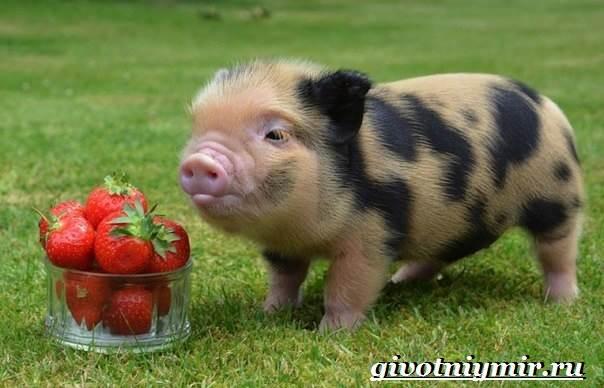 Мини-пиги-свинья-Особенности-уход-и-цена-мини-пиги-3