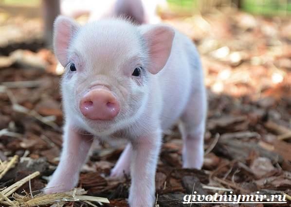 Мини-пиги-свинья-Особенности-уход-и-цена-мини-пиги-5
