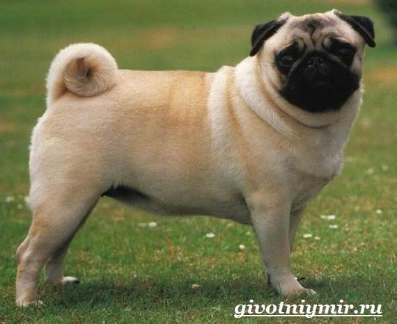 Мопс-собака-Особенности-уход-и-цена-породы-мопс-2