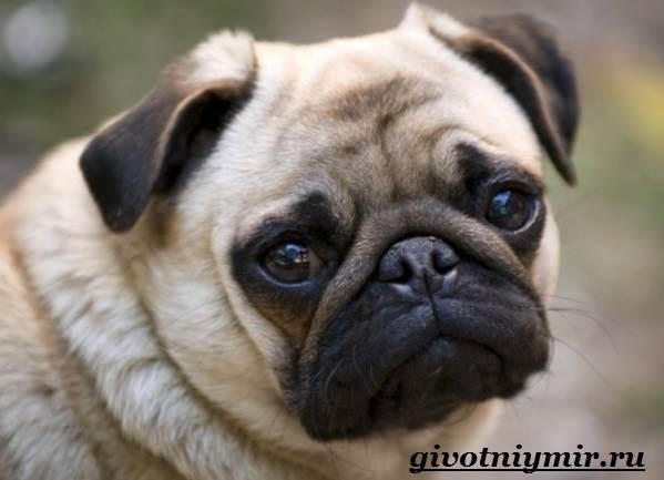 Мопс-собака-Особенности-уход-и-цена-породы-мопс-3