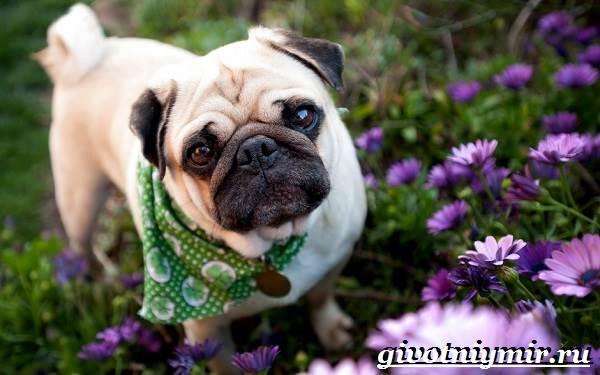 Мопс-собака-Особенности-уход-и-цена-породы-мопс-4