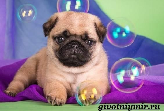 Мопс-собака-Особенности-уход-и-цена-породы-мопс-9