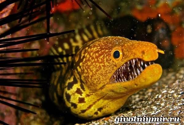 Мурена-рыба-Образ-жизни-и-среда-обитания-мурены-4