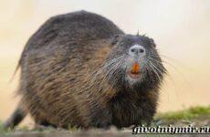 Нутрия животное. Образ жизни и среда обитания нутрии