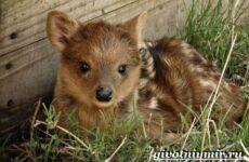 Олень пуду животное. Образ жизни и среда обитания оленя пуду