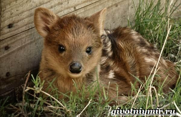 Олень-пуду-животное-Образ-жизни-и-среда-обитания-оленя-пуду-1