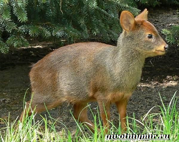 Олень-пуду-животное-Образ-жизни-и-среда-обитания-оленя-пуду-2