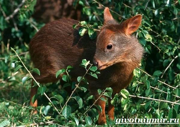 Олень-пуду-животное-Образ-жизни-и-среда-обитания-оленя-пуду-3