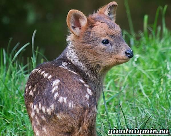 Олень-пуду-животное-Образ-жизни-и-среда-обитания-оленя-пуду-4