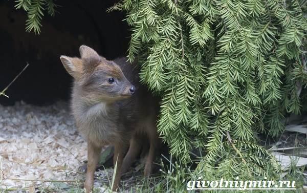 Олень-пуду-животное-Образ-жизни-и-среда-обитания-оленя-пуду-5