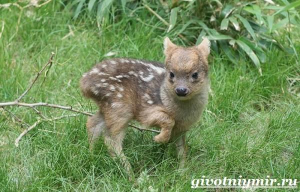 Олень-пуду-животное-Образ-жизни-и-среда-обитания-оленя-пуду-6