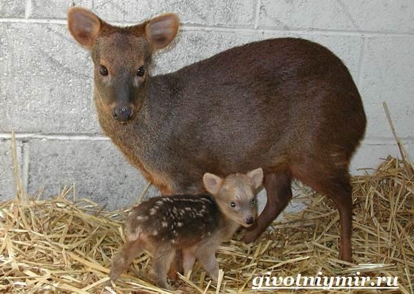 Олень-пуду-животное-Образ-жизни-и-среда-обитания-оленя-пуду-7