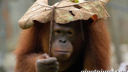 Орангутанг обезьяна. Образ жизни и среда обитания орангутана