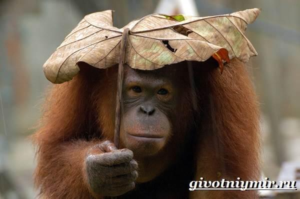 Орангутанг-обезьяна-Образ-жизни-и-среда-обитания-орангутана-1