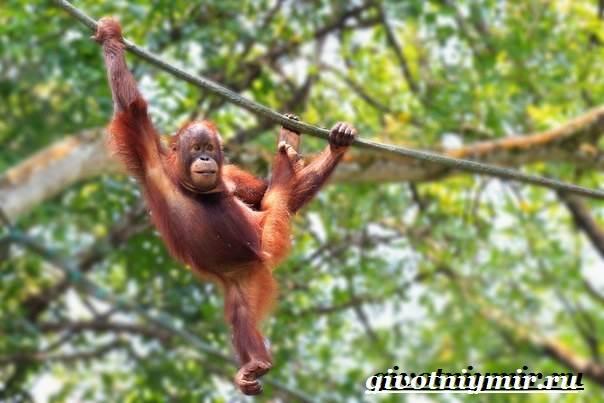 Орангутанг-обезьяна-Образ-жизни-и-среда-обитания-орангутана-2