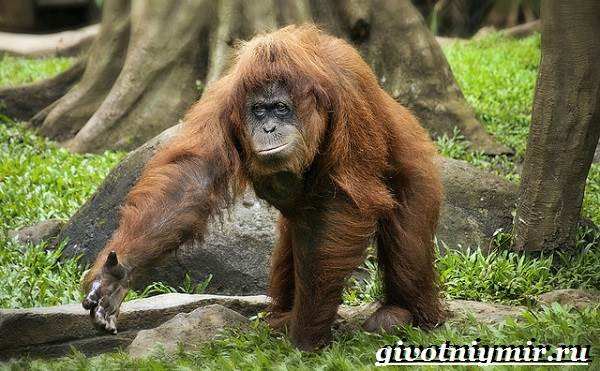 Орангутанг-обезьяна-Образ-жизни-и-среда-обитания-орангутана-3