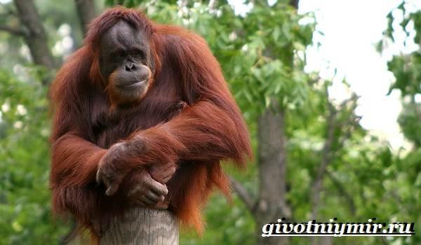 Орангутанг-обезьяна-Образ-жизни-и-среда-обитания-орангутана-4