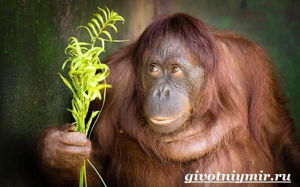 Орангутанг-обезьяна-Образ-жизни-и-среда-обитания-орангутана-5