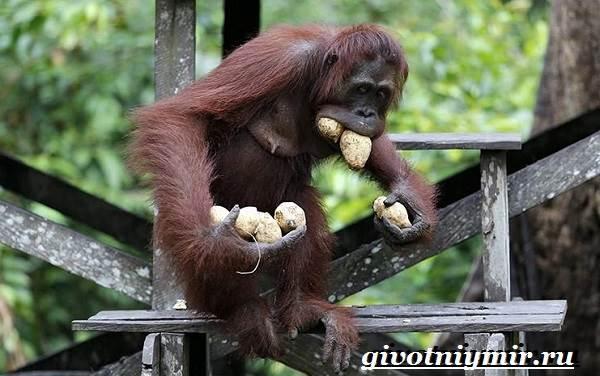 Орангутанг-обезьяна-Образ-жизни-и-среда-обитания-орангутана-6