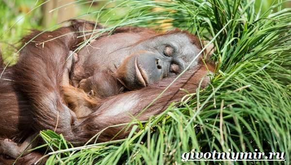 Орангутанг-обезьяна-Образ-жизни-и-среда-обитания-орангутана-7