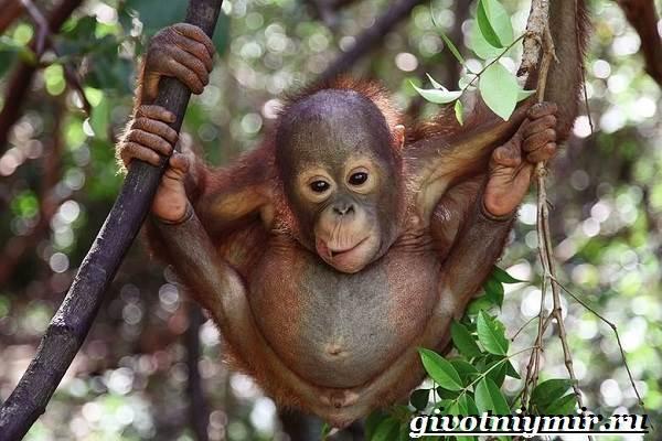 Орангутанг-обезьяна-Образ-жизни-и-среда-обитания-орангутана-8