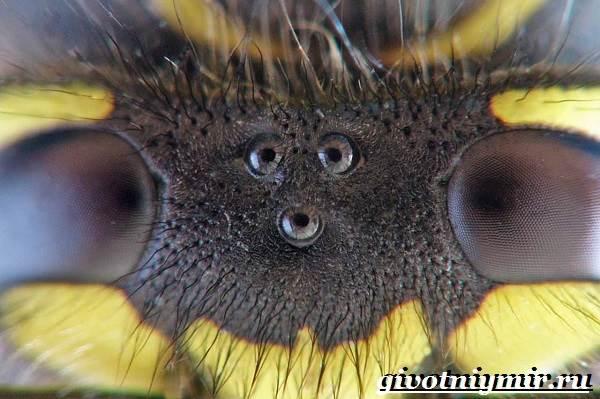 Оса-насекомое-Образ-жизни-и-среда-обитания-осы-3