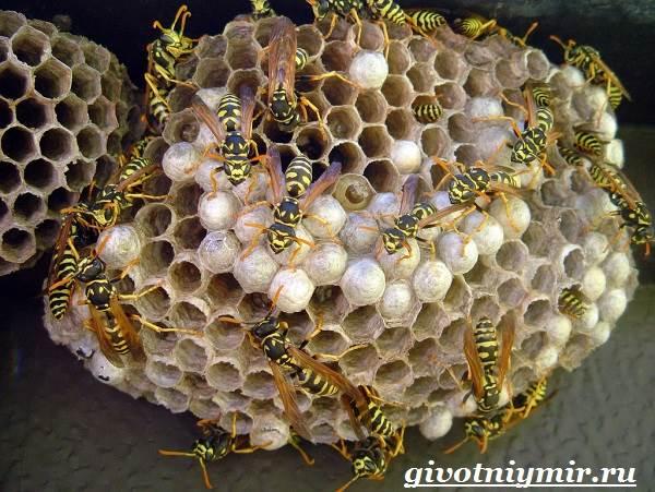 Оса-насекомое-Образ-жизни-и-среда-обитания-осы-5