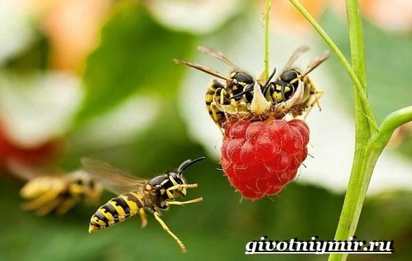 Оса-насекомое-Образ-жизни-и-среда-обитания-осы-6
